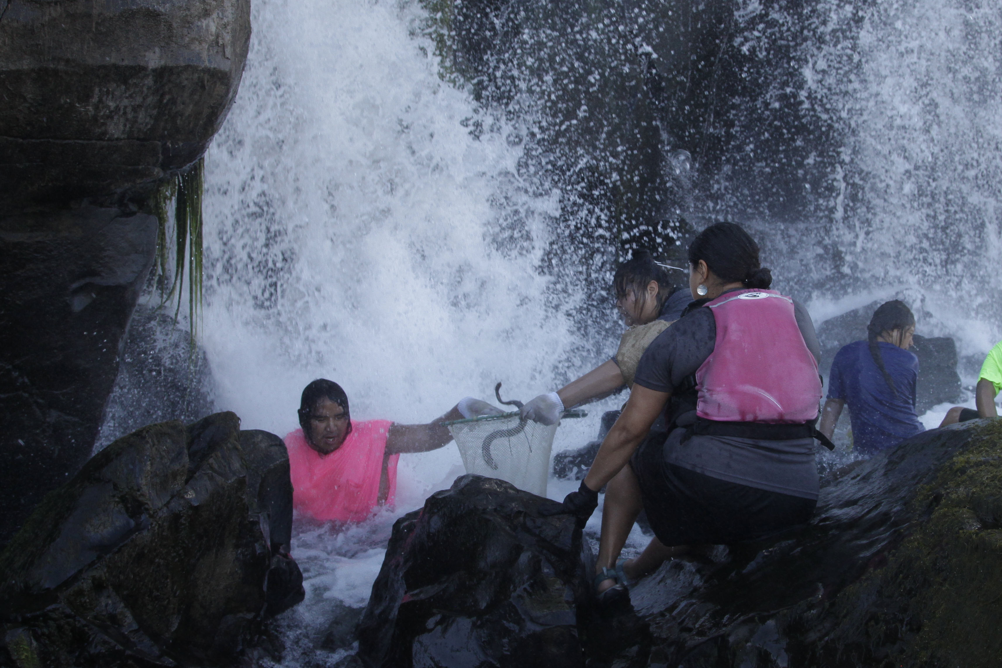 In this Friday, June 12, 2015 photo, Native Americans catch lamprey, eel-like fish, at Willamette Falls, a 40-foot waterfall south of Portland, Oregon. An ancient fish that's a source of food for tribes in the Pacific Northwest, lampreys have been in drastic decline in recent decades. (AP/Gosia Wozniacka)