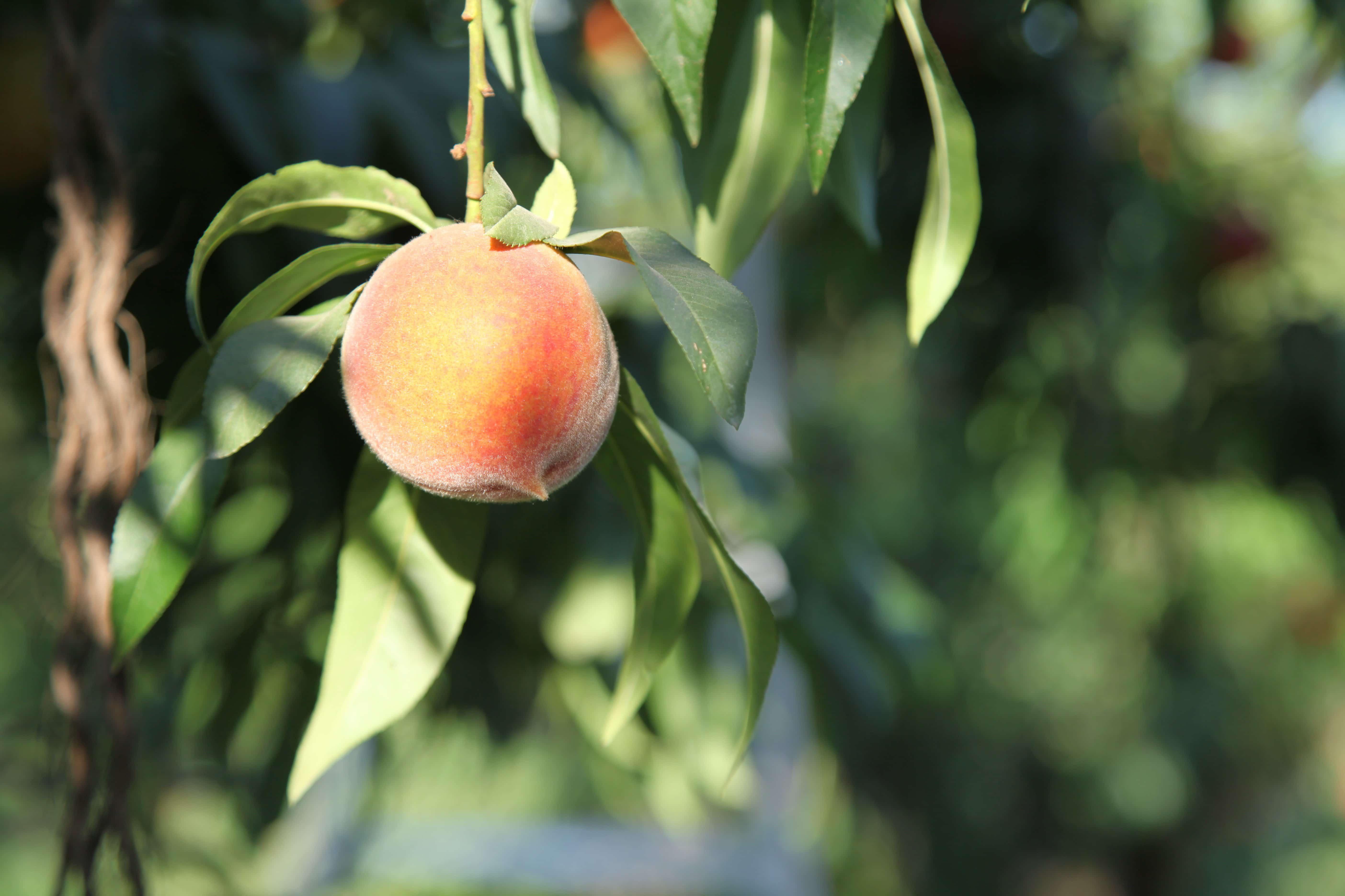 Masumoto Peaches (15)