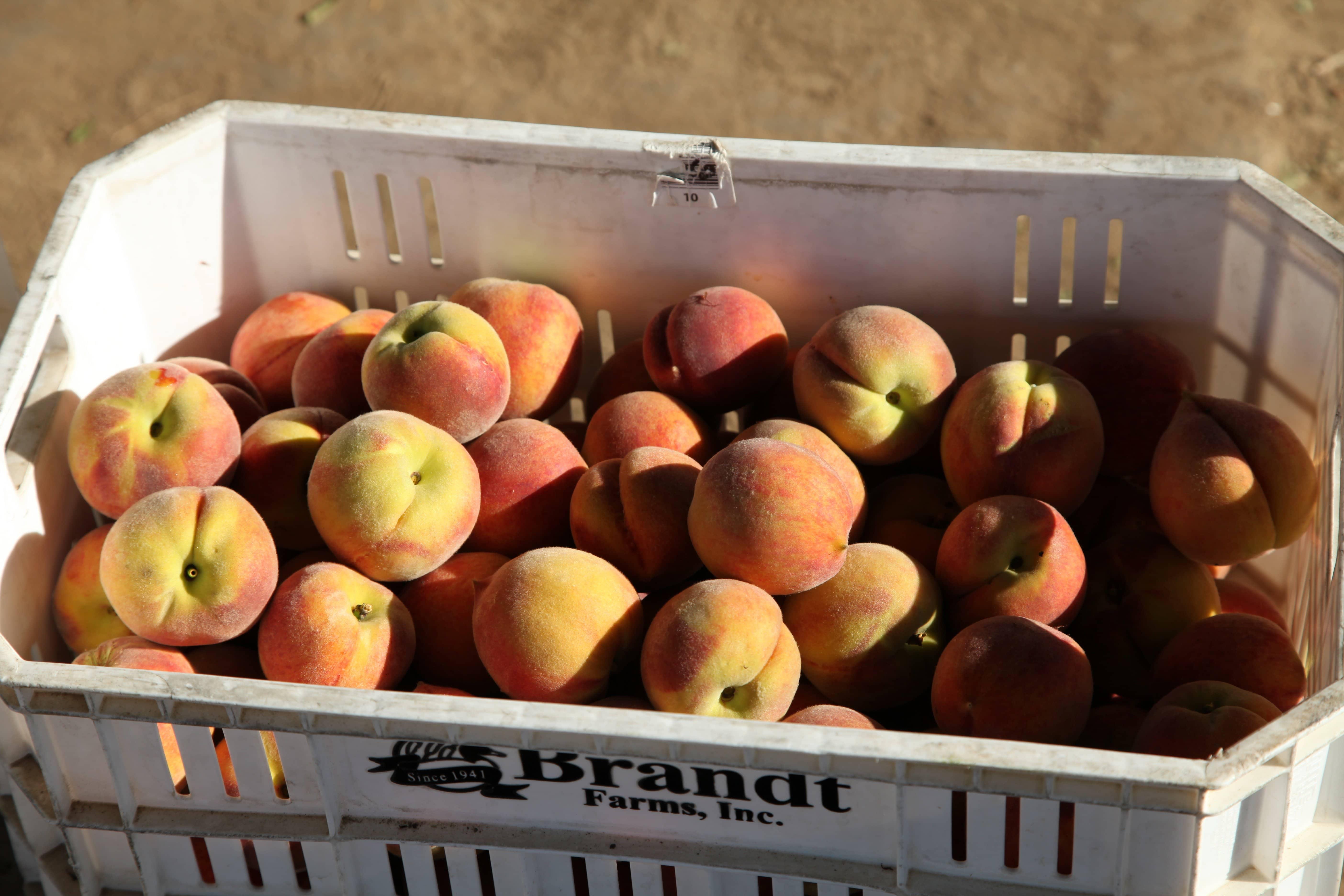 Masumoto Peaches (27)