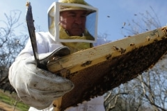 DYING BEES-ALMOND POLLINATION