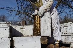 Dying Bees-Almond Pollination4