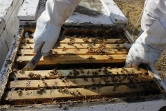 Dying Bees-Almond Pollination5