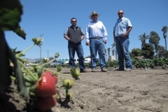 Latino Strawberry Growers (1)