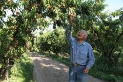 Masumoto Peaches (13)