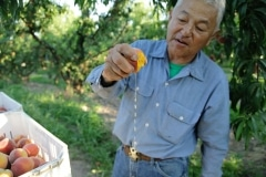 Masumoto Peaches (4)